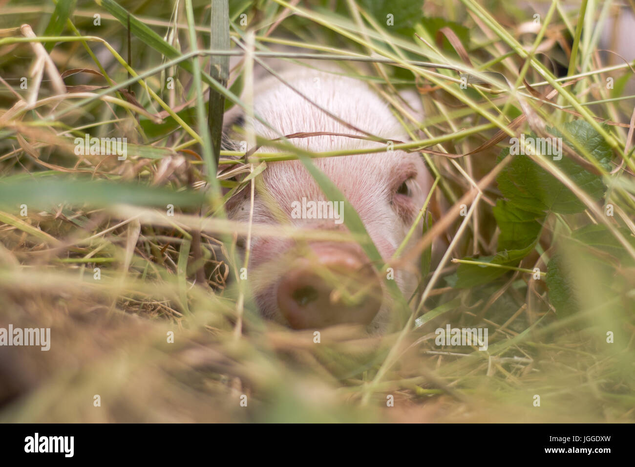 Piglet hiding in grass. Four day old domestic pigs outdoors, with black spots on pink skin - Stock Image