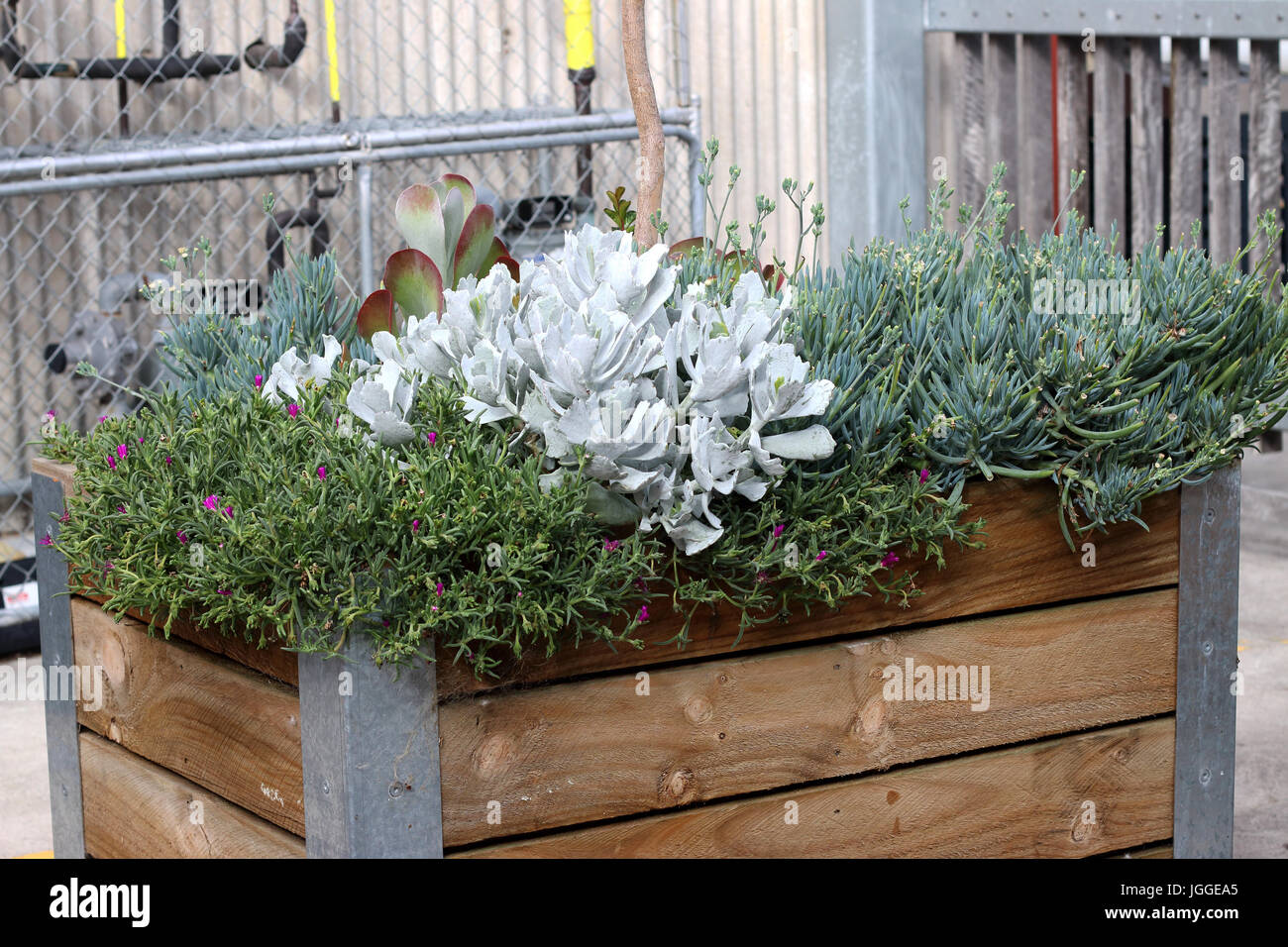 Desert plants Succulents - Flap Jacks, Ice plant, Blue Chalk sticks growing in garden raised bed - Stock Image