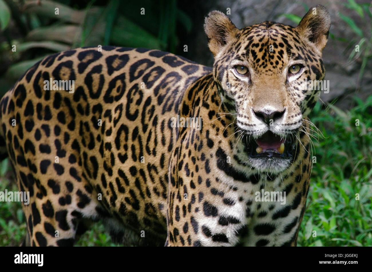 81110cf9e14 Big wild cat jaguar Panthera onca wildlife image taken in Panama - Stock  Image