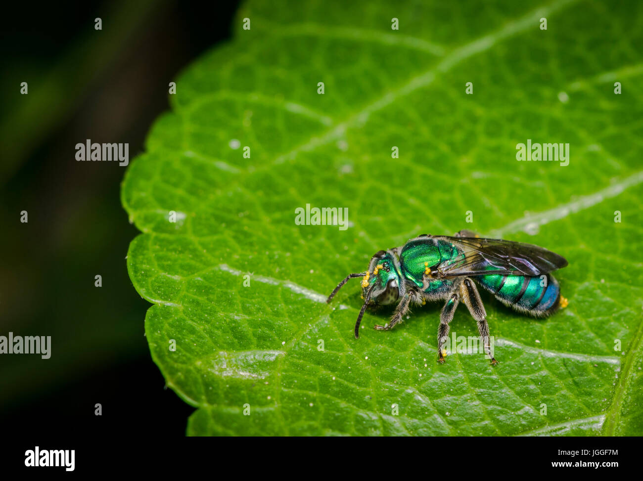 Cuckoo wasp on a plant leaf - Stock Image