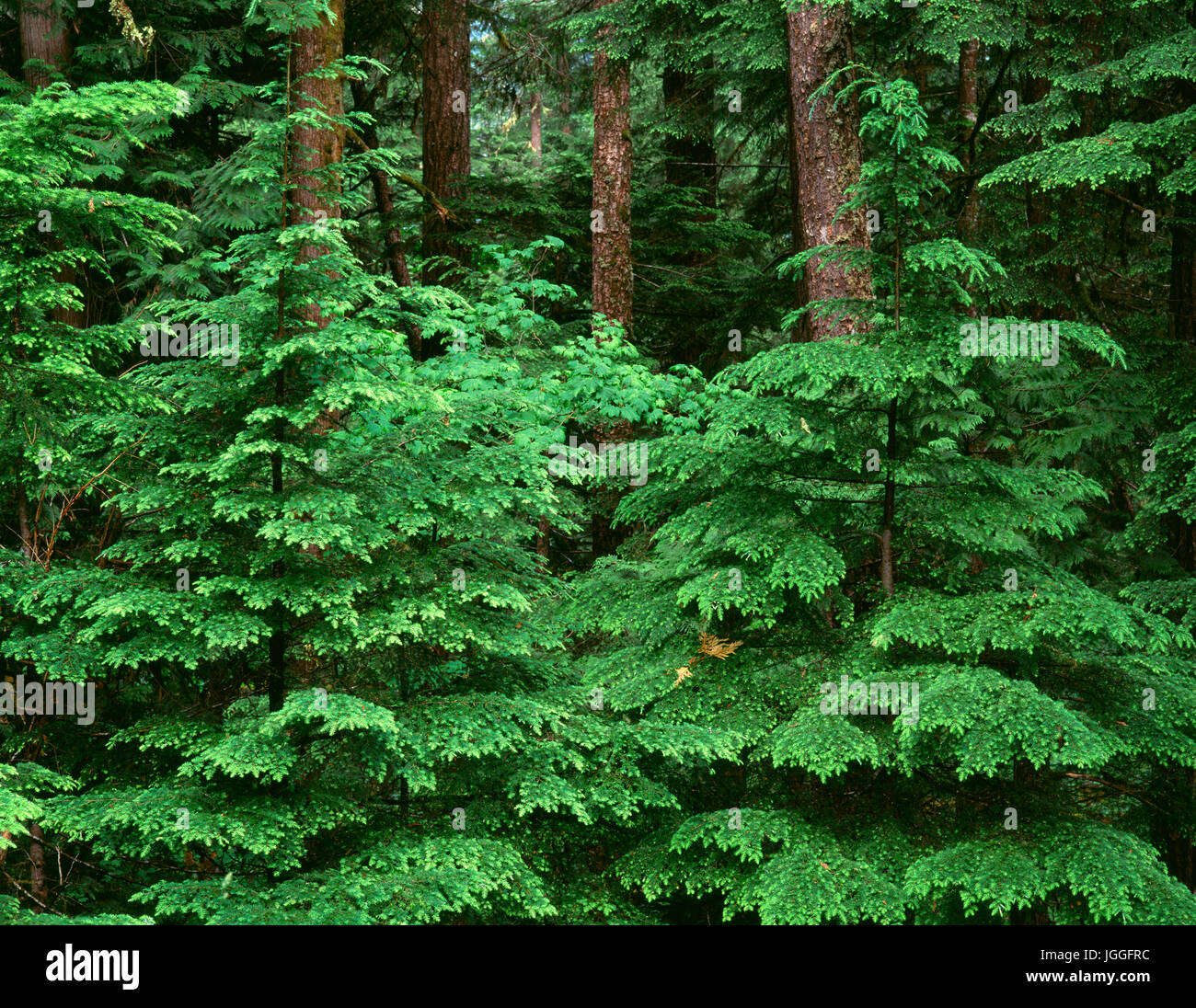 USA, Oregon, Willamette National Forest, Middle Santiam Wilderness, Spring growth of western hemlock saplings in - Stock Image