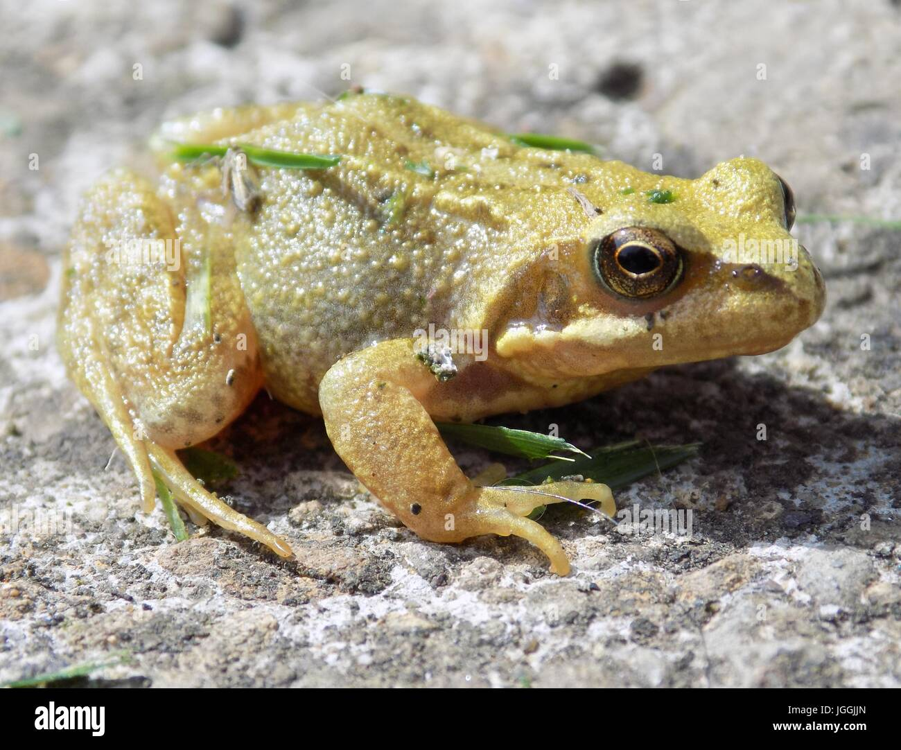 Small yellow and brown frog sitting on a stone in the sun. - Stock Image