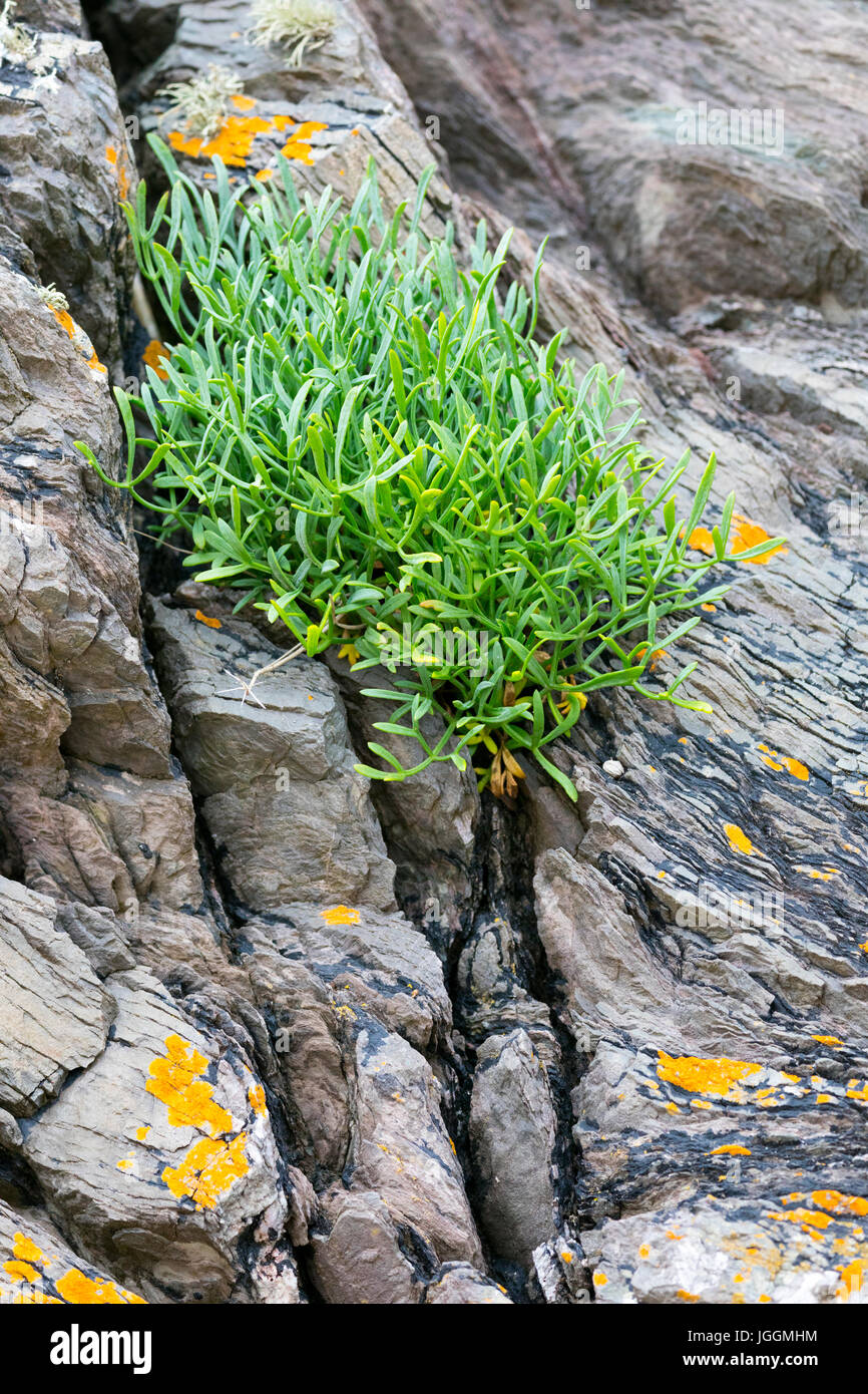 Crithmum or Rock Samphire growing on rock at the tidal edge with flowers in summer at Freathy, Whitsand Bay, Cornwall, Stock Photo