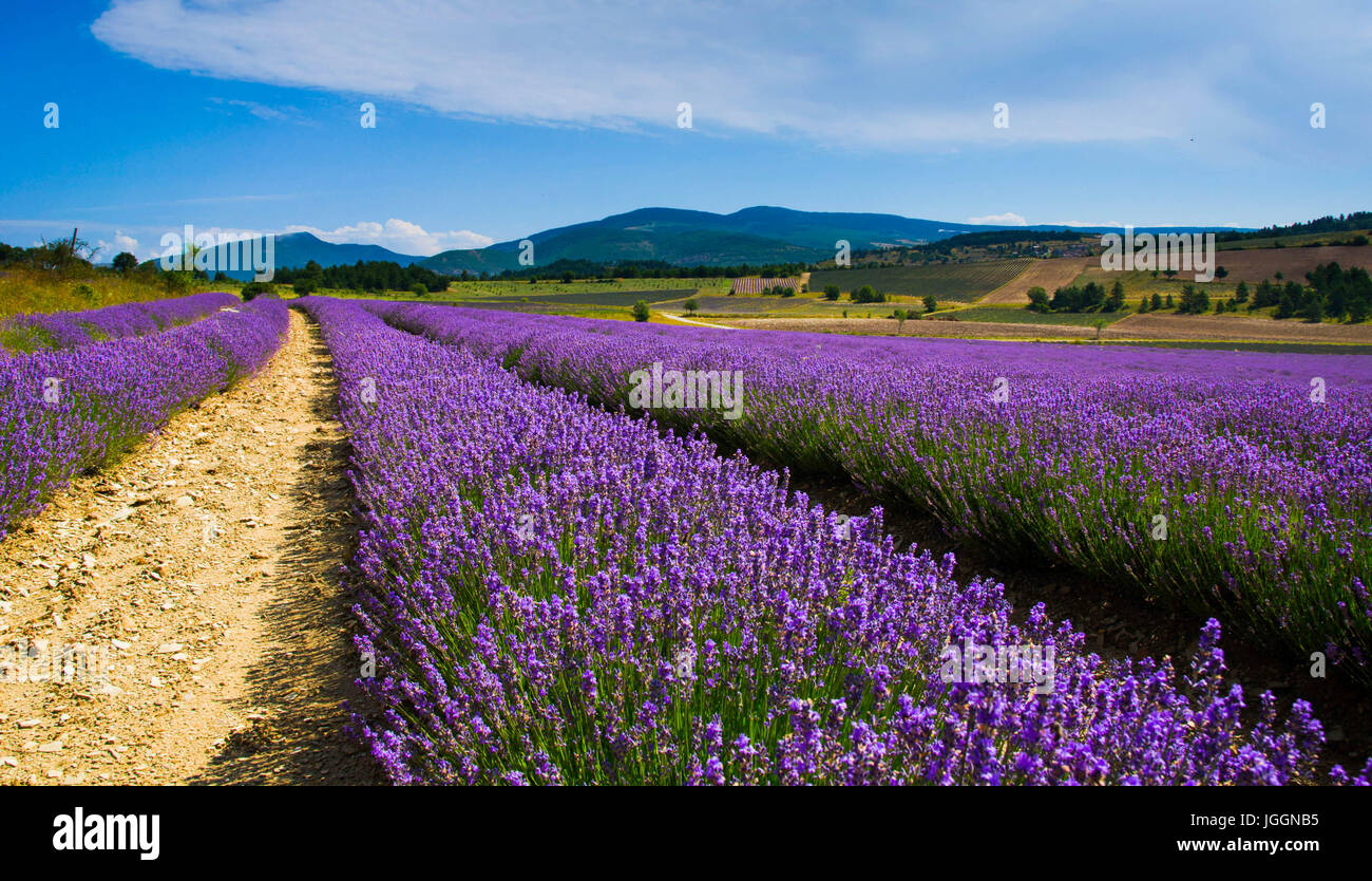 Lavender fields near Sault in PROVENCE - Stock Image
