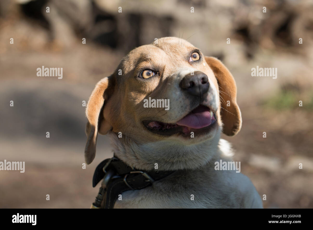 Crossbred dog - Stock Image