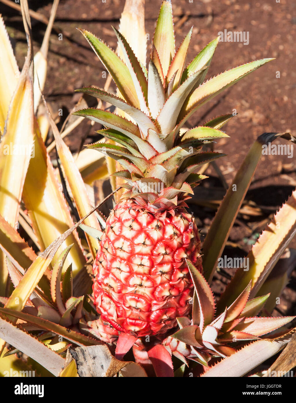 Hawaiian Pineapple Ready For Harvest - Stock Image