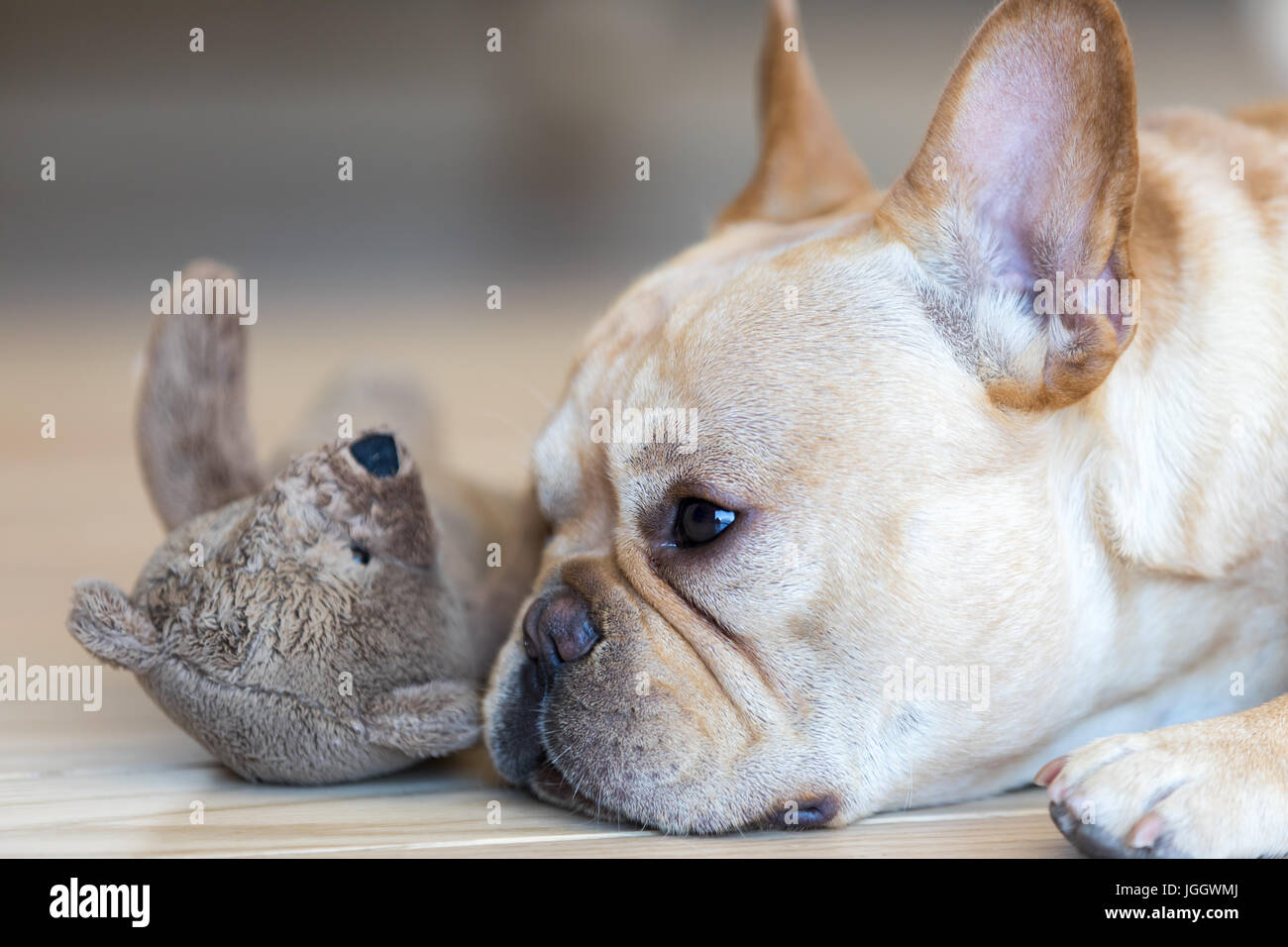 Young French Bulldog male resting next to his toy. - Stock Image