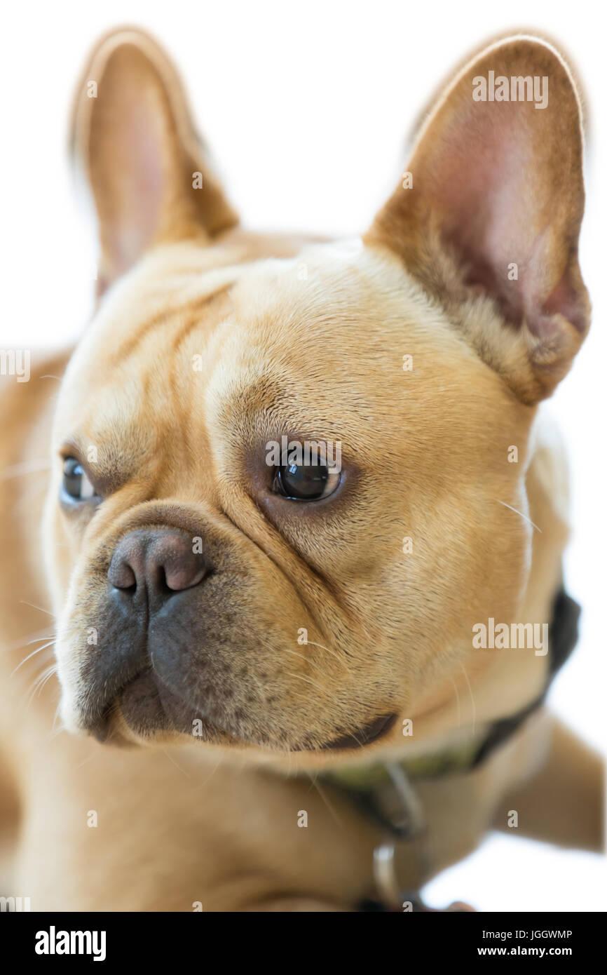 Isolated French Bulldog Head. - Stock Image