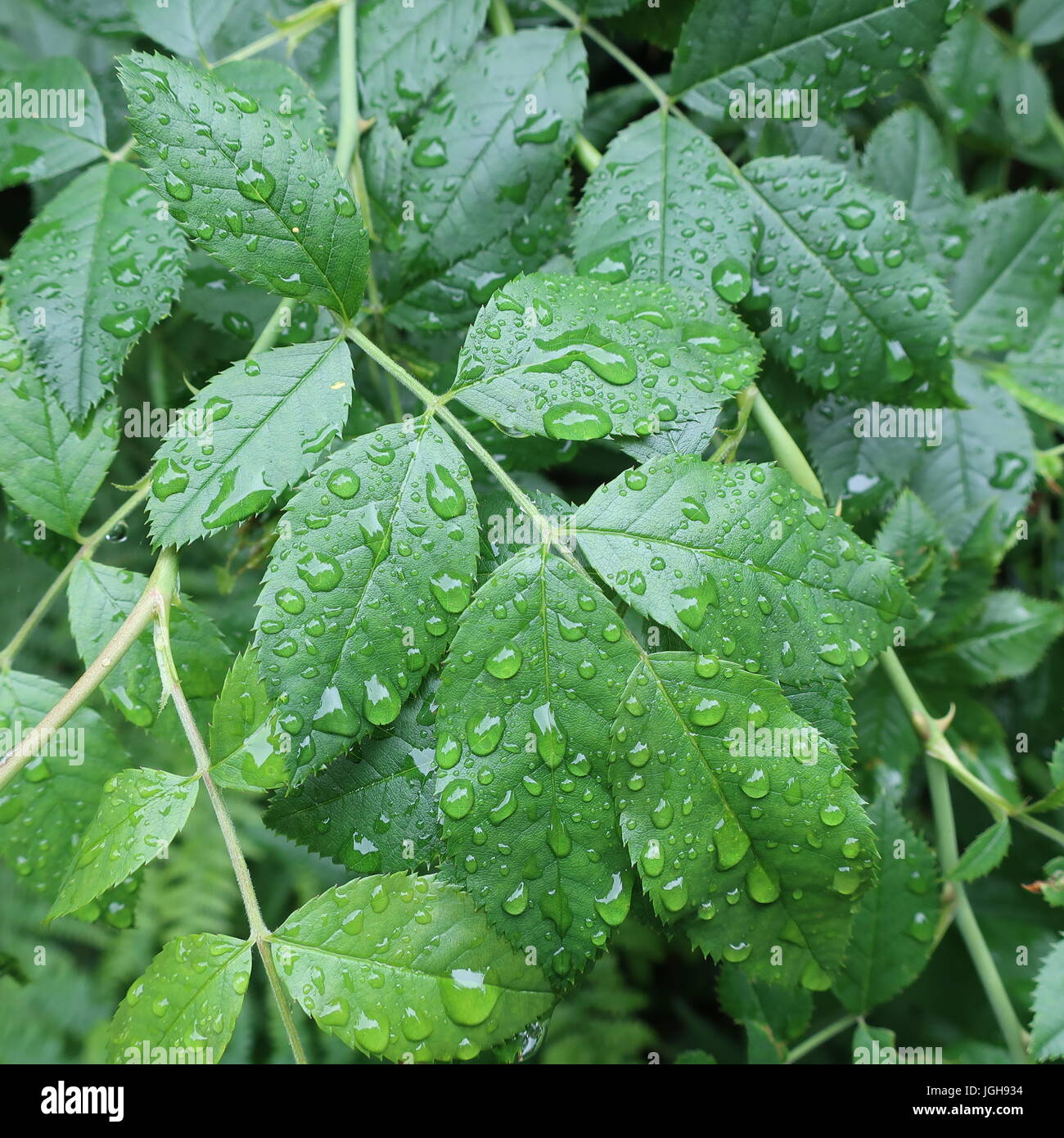 Rain drenched woodland leaves after a storm - Stock Image
