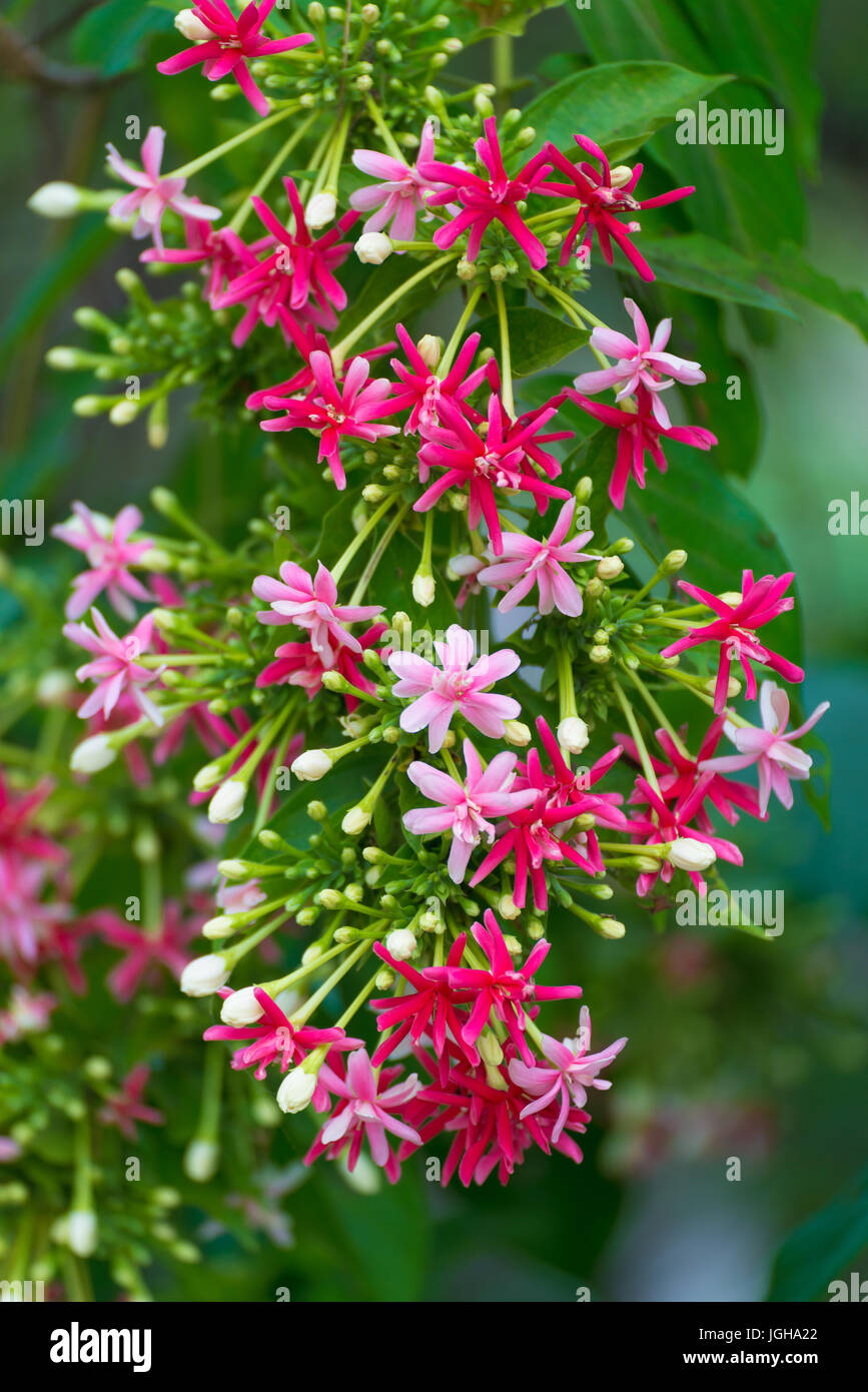Thai small pink flowers blossom quisqualis indica flower plant thai small pink flowers blossom quisqualis indica flower plant chinese honeysuckle rangoon creeper or combretum indicum shallow focus mightylinksfo