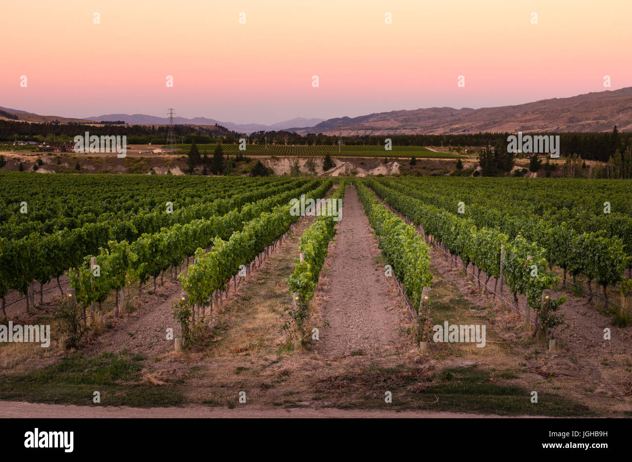 Vineyard Rows at sunset in Bannockburn, central Otago in South Island of New Zealand - Stock Image