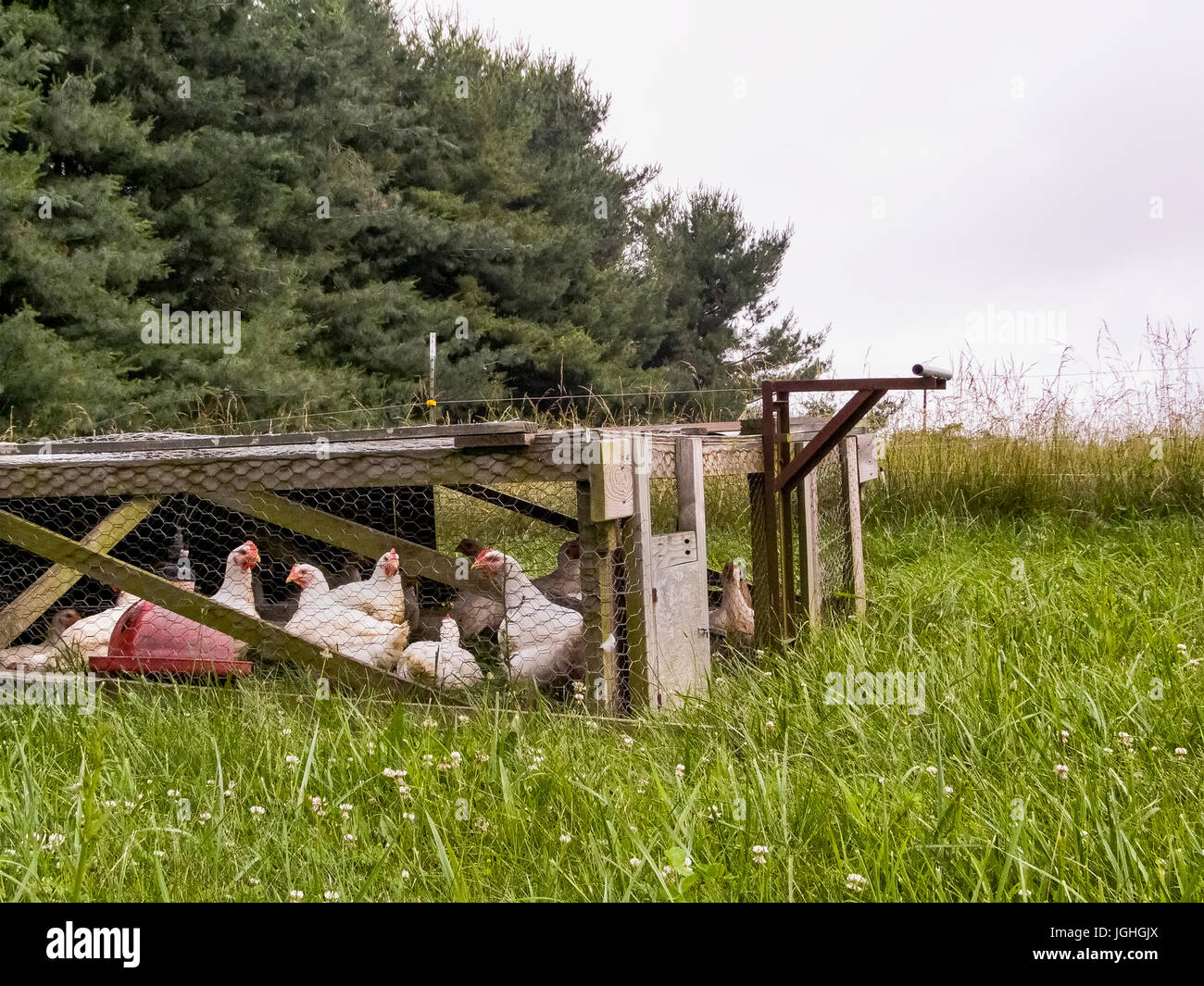 Hens in hen house, grazing rotation - Stock Image