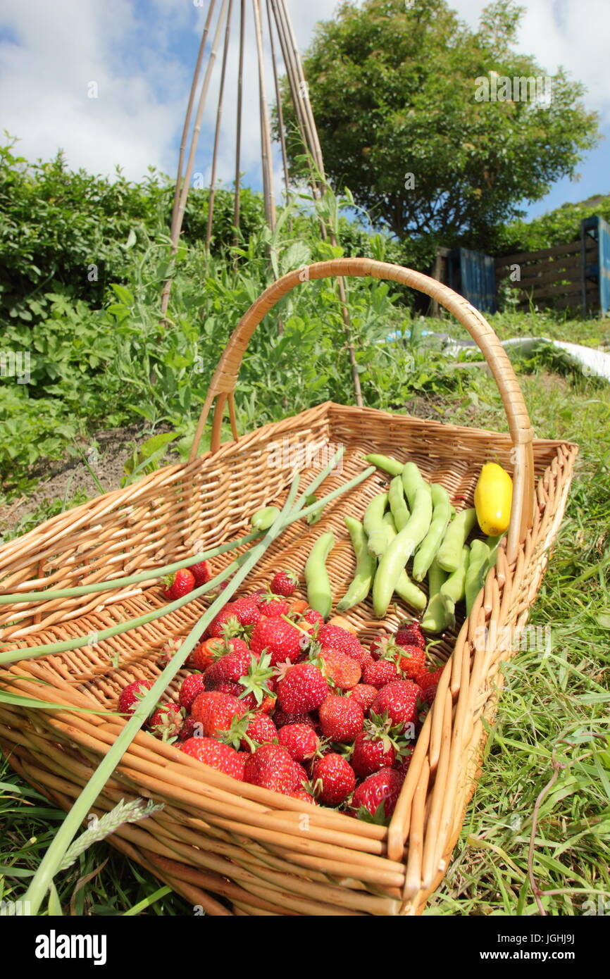 Freshly picked summer harvest including strawberries and broad beans in a wicker trug on an English allotment garden - Stock Image