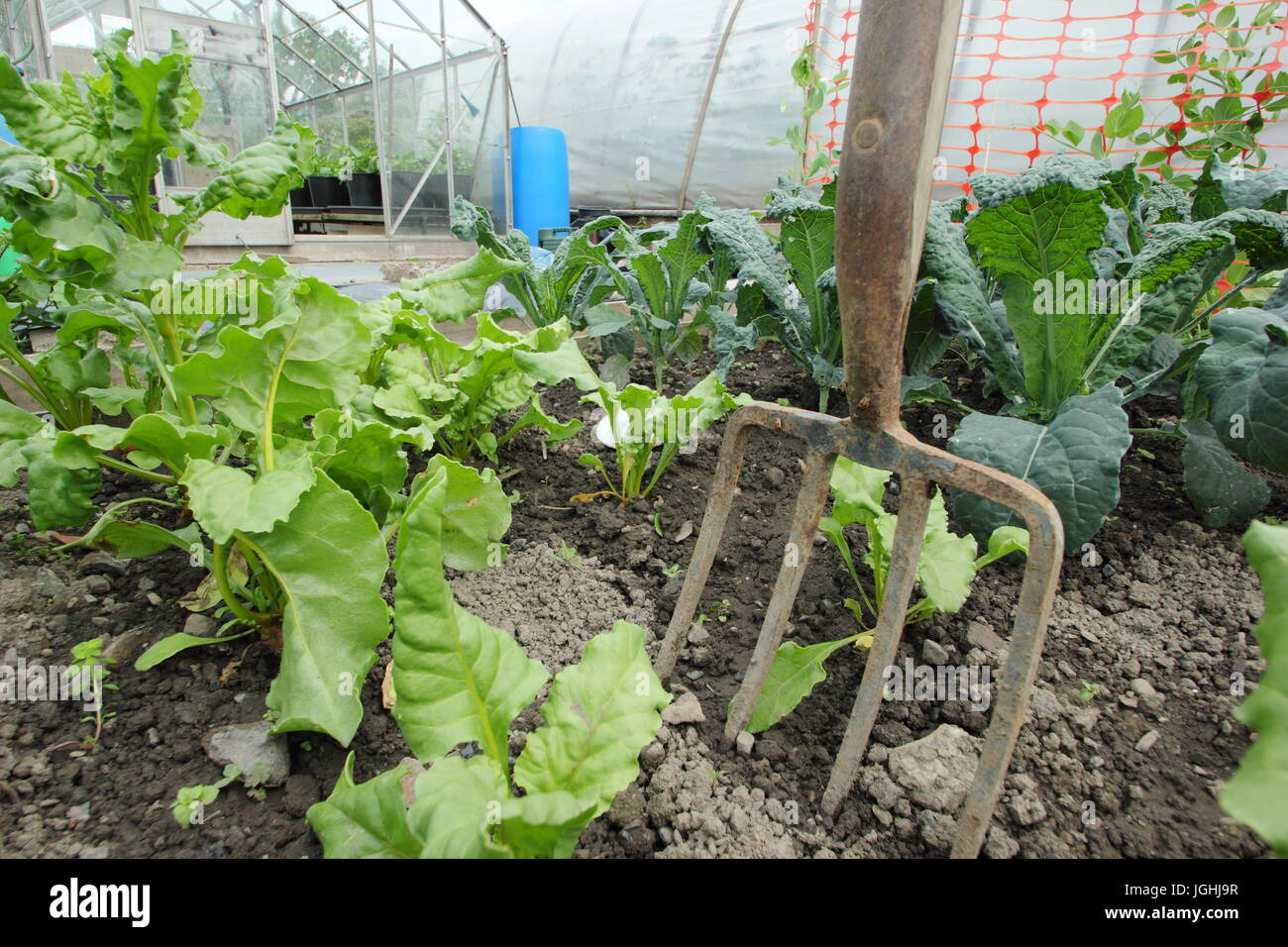 Young beetroot and brassica growing in a vegetable plot  in an English allotment garden at mid summer - Stock Image