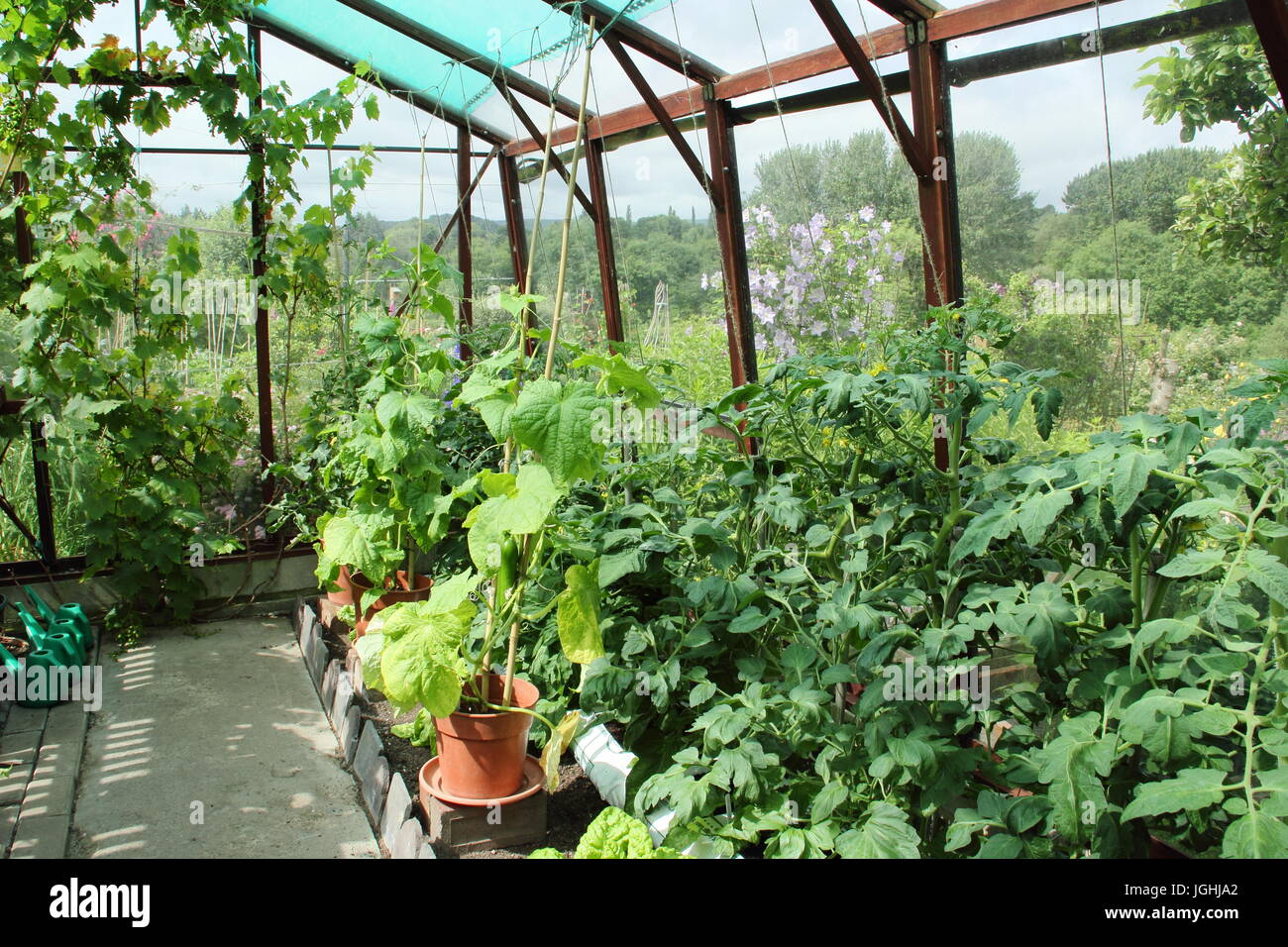 Cucumbers and tomatoes. Growing in a greenhouse for sale 53
