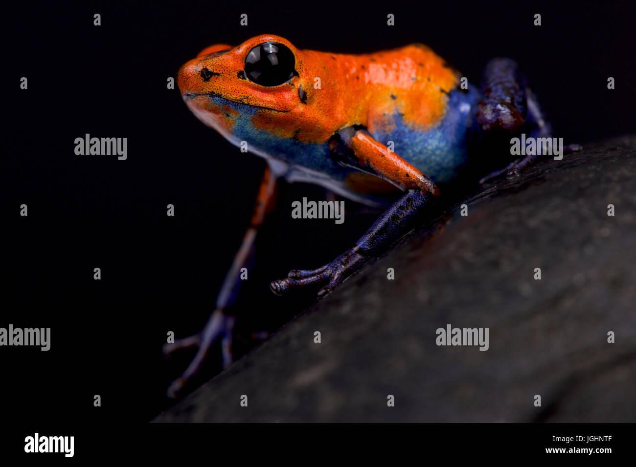 Strawberry dart frog, Oophaga pumilio 'Blue jeans Nicaragua' - Stock Image