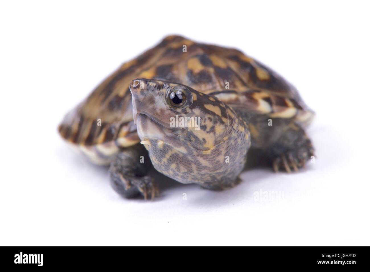 Narrow-bridged musk turtle,Staurotypus triporcatus Stock Photo