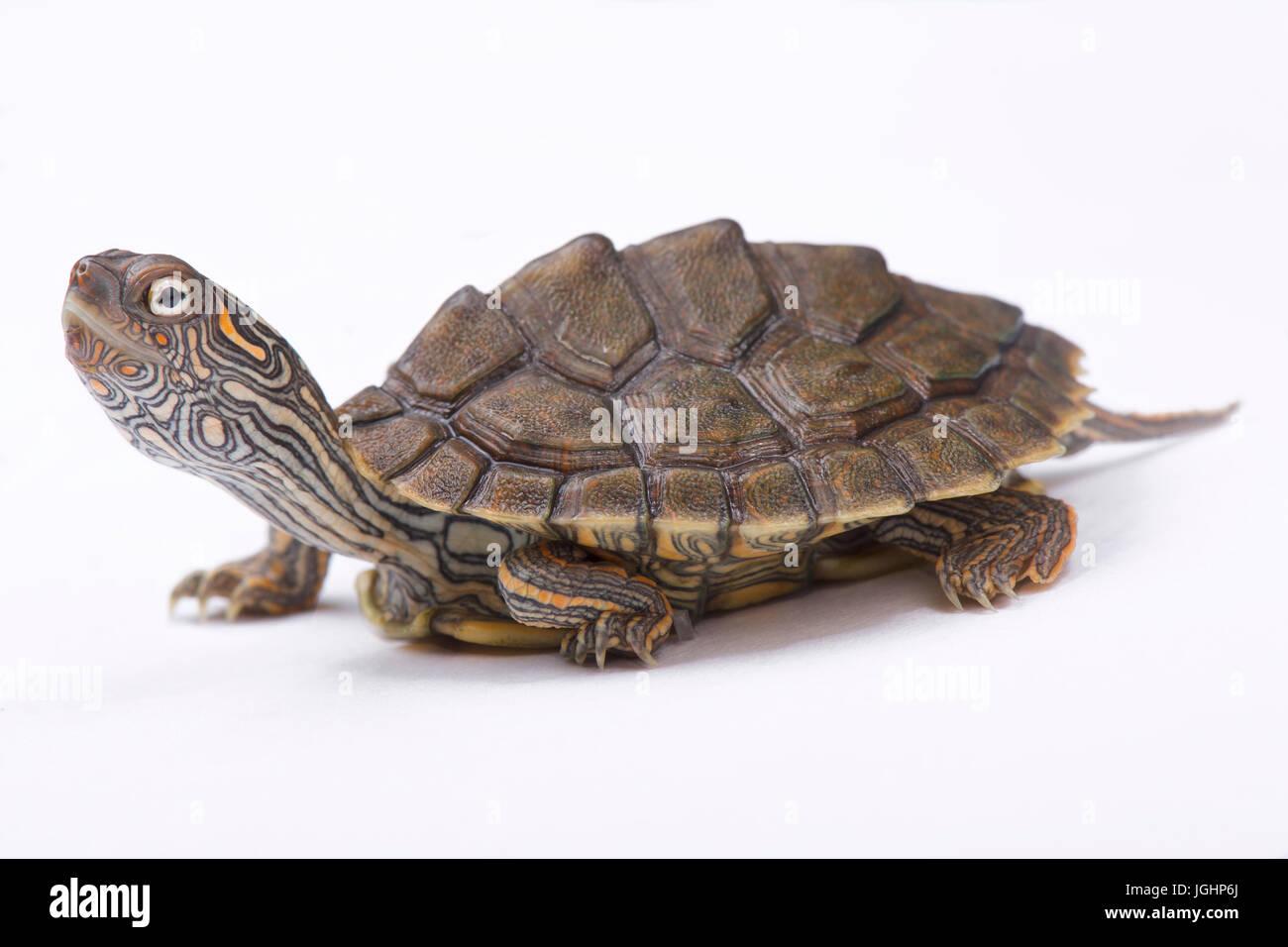 Texas Map Turtle Texas map turtle, Graptemys versa Stock Photo: 147908058   Alamy