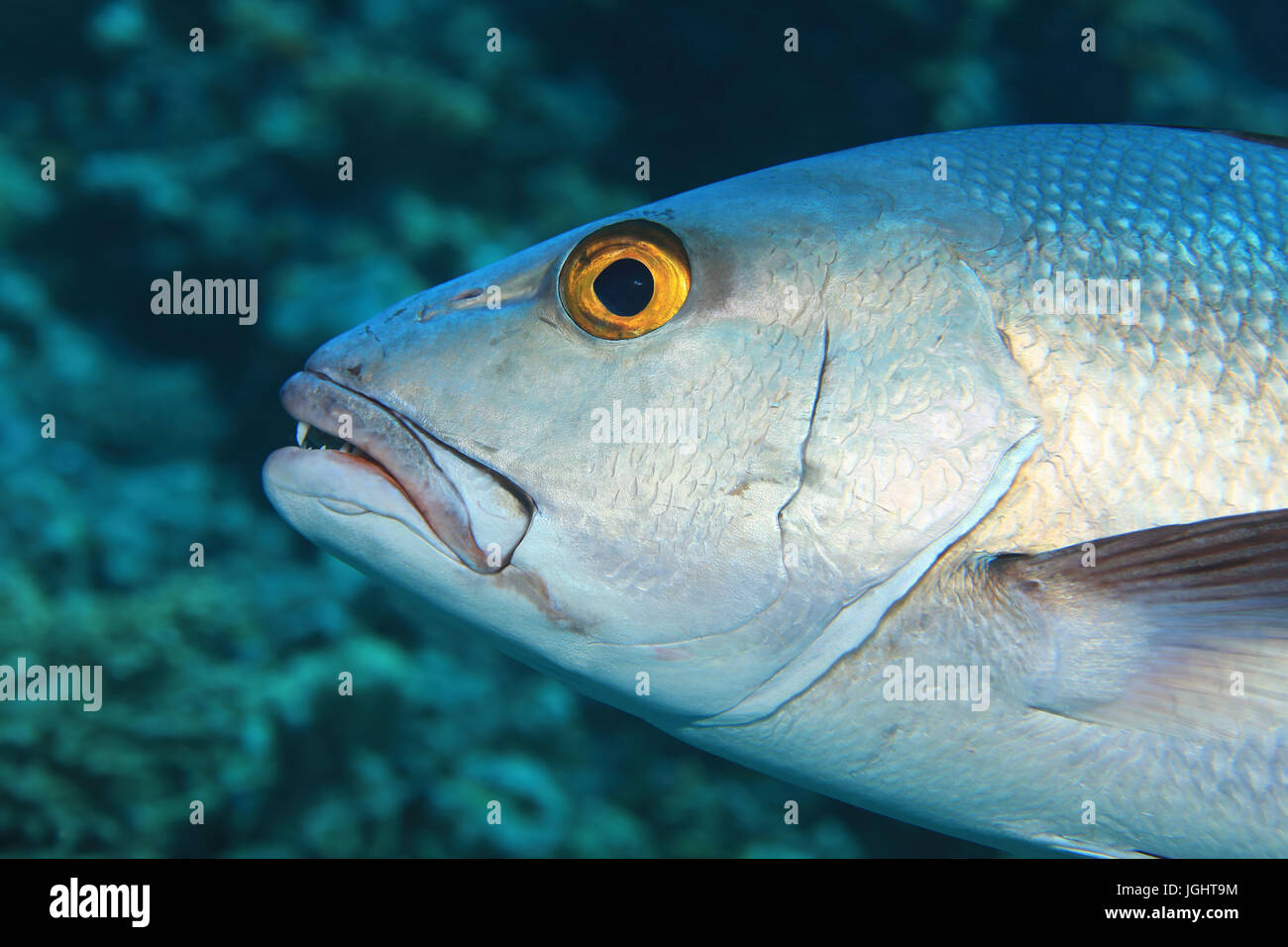 Head of two-spot red snapper fish (Lutjanus bohar) underwater in the indian ocean - Stock Image