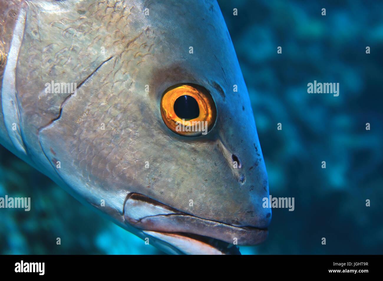 Eye of two-spot red snapper fish (Lutjanus bohar) underwater in the indian ocean - Stock Image
