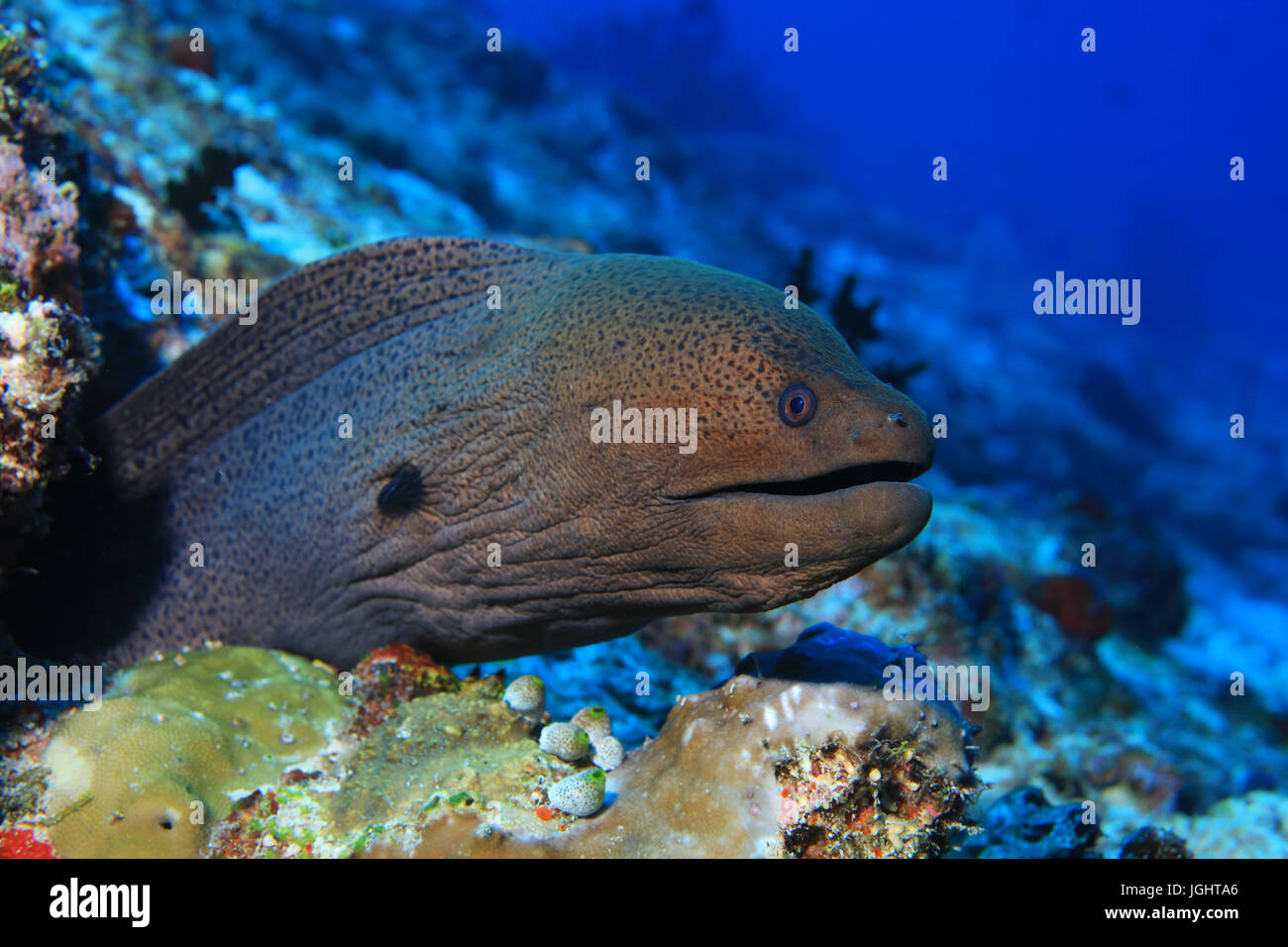Giant moray eel (Gymnothorax javanicus) underwater in the indian ocean - Stock Image