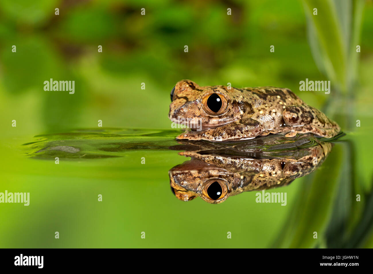 Big Eyed Forest Tree Frog - Stock Image