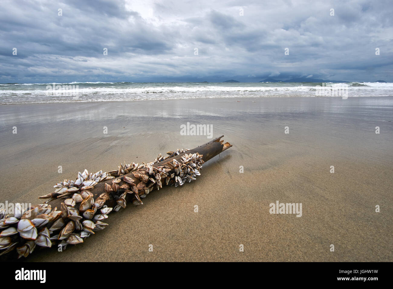 Bamboo stick with mussels on it lying on the beach. Stormy evening at the beach with dramatic clouds and waves. Stock Photo