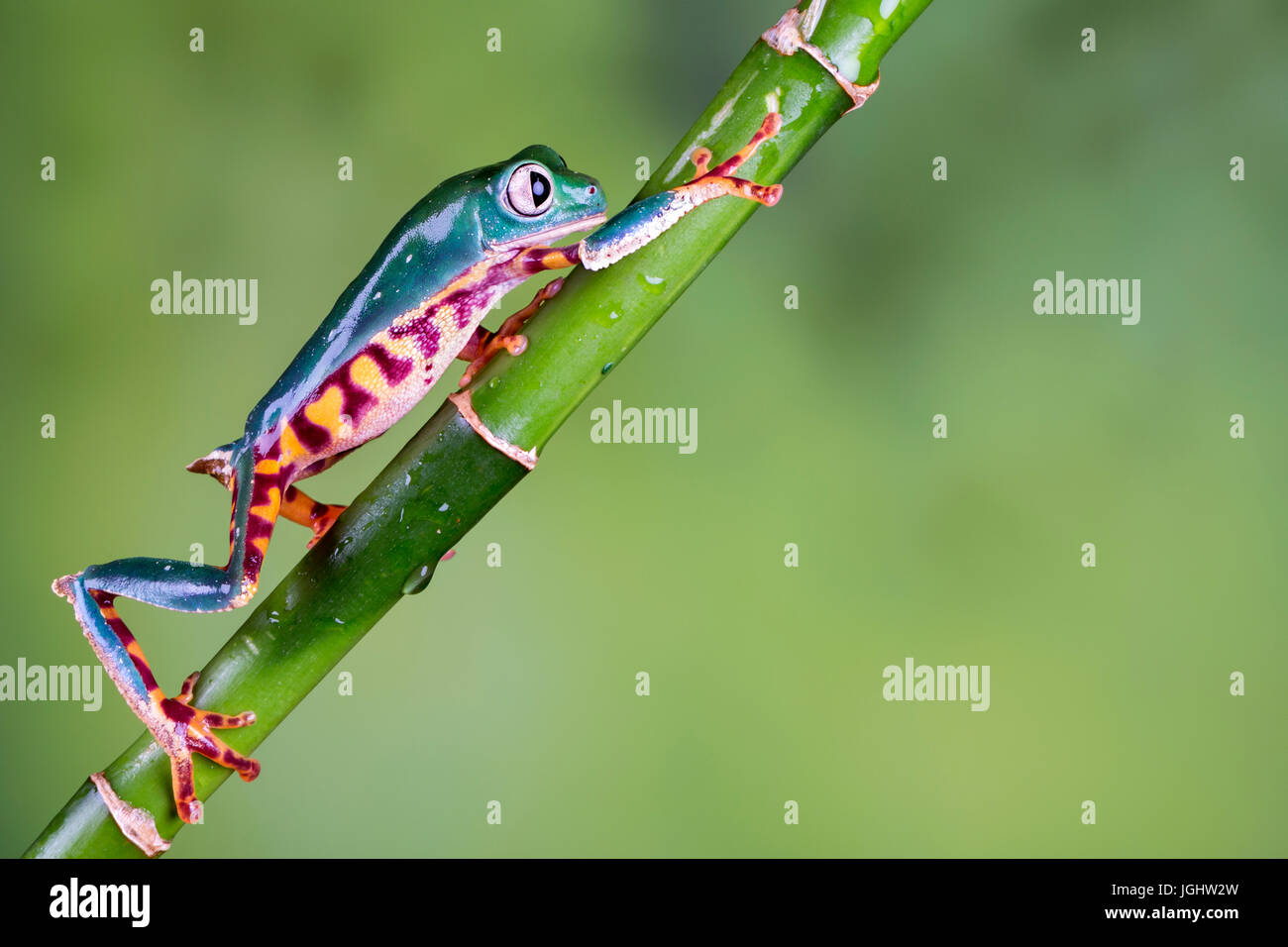 Super Tiger Leg Waxy Monkey Frog - Stock Image