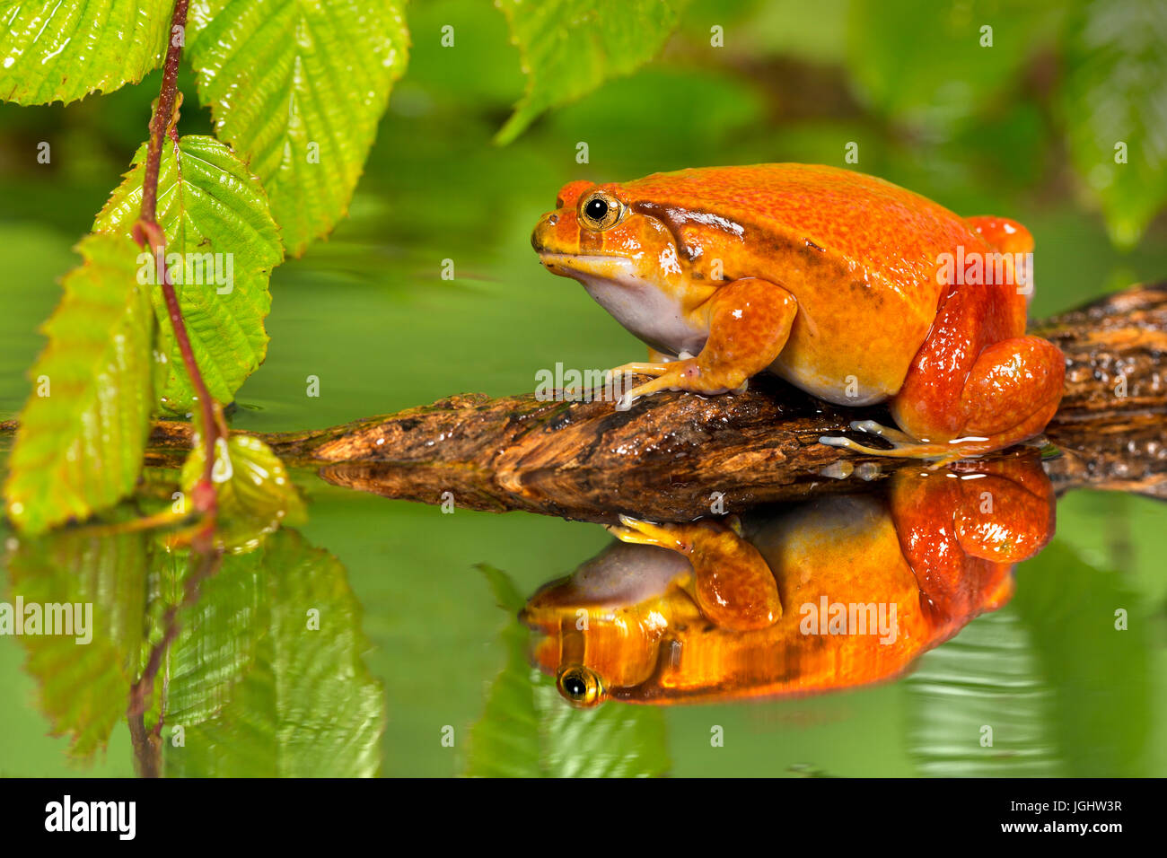 Tomato Frog in pond with reflection - Stock Image