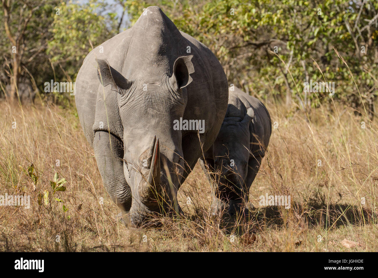 Mother White Rhino walking with young Calf - Stock Image