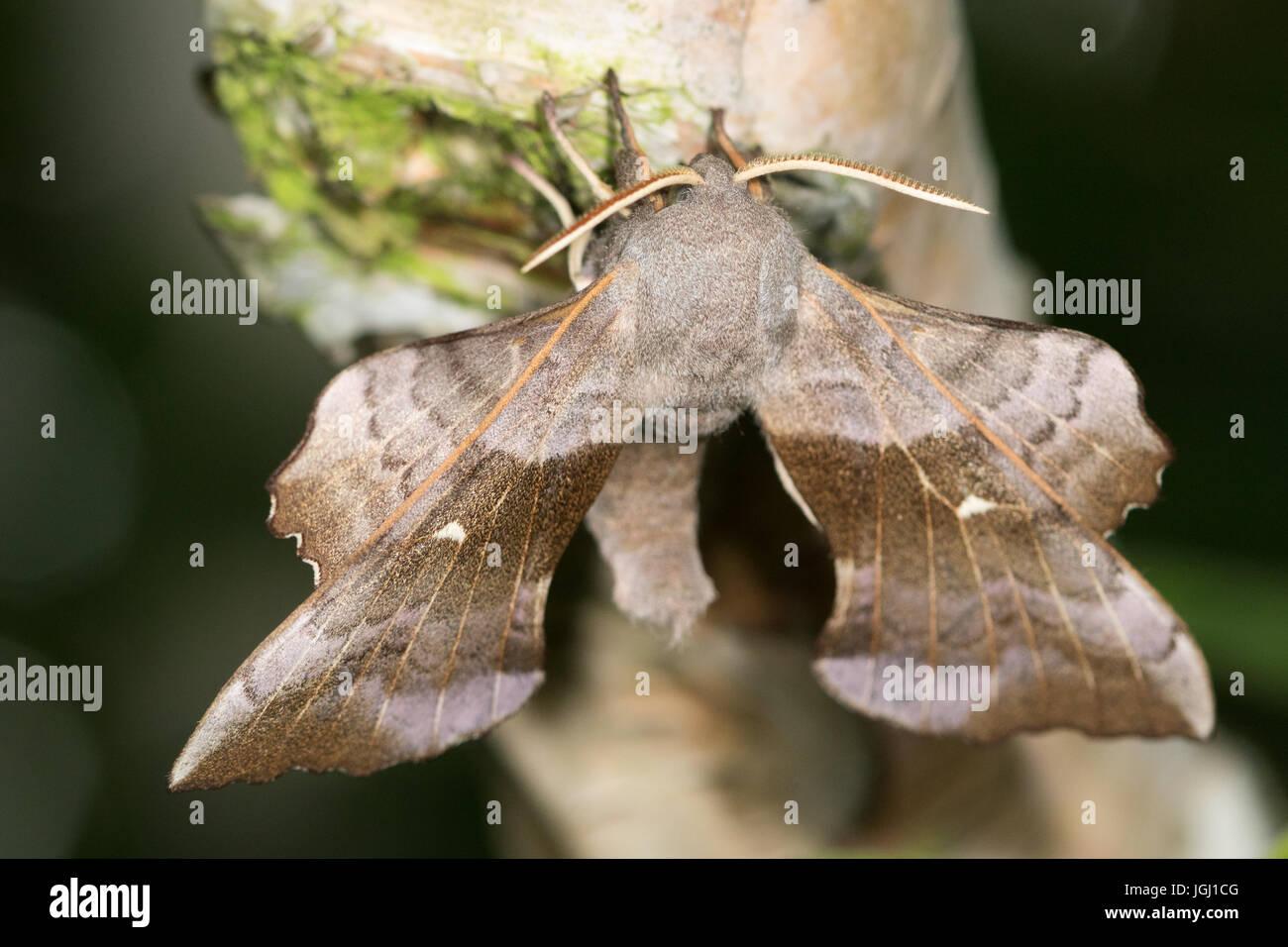 Poplar Hawkmoth (Laothoe populi) - Stock Image