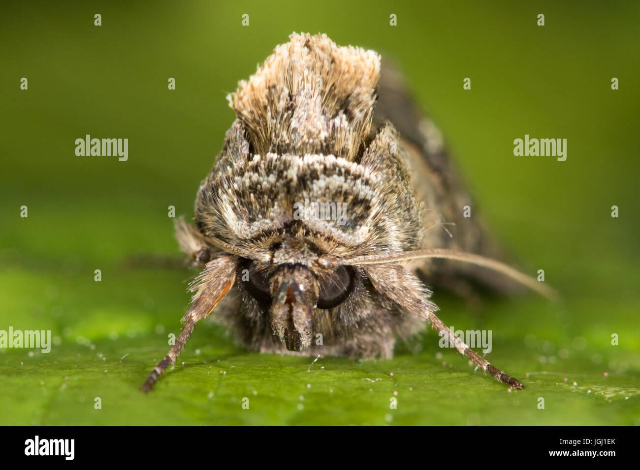 headshot of Spectacle moth (Abrostola tripartita) - Stock Image