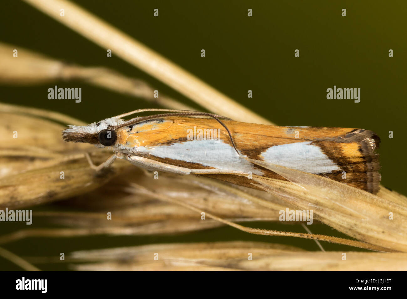 Pearl Grass-veneer (Catoptria pinella) moth Stock Photo