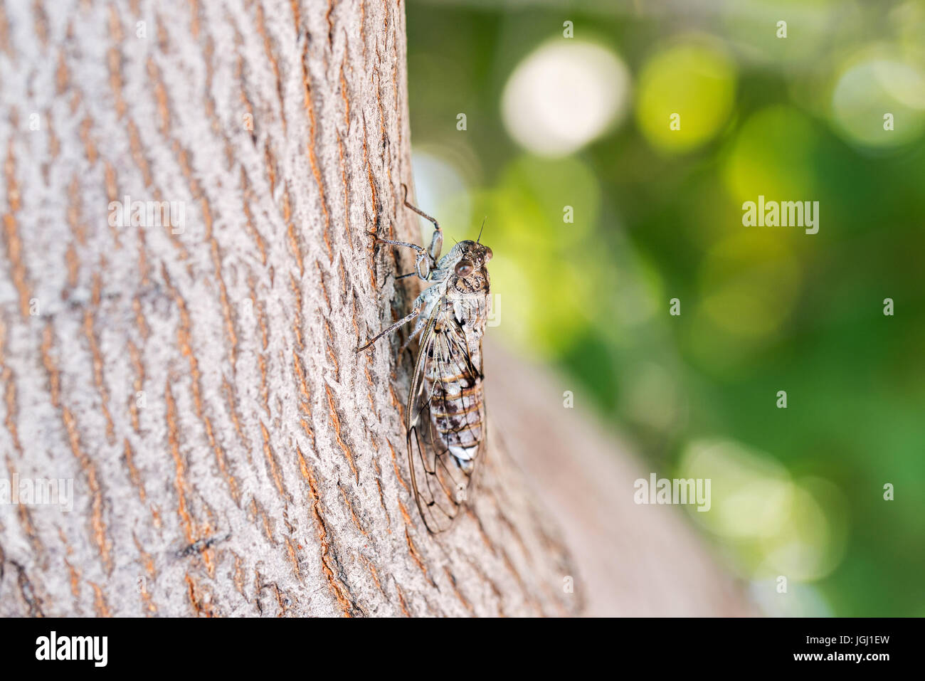 Cicada camouflaged on an olive tree - Stock Image
