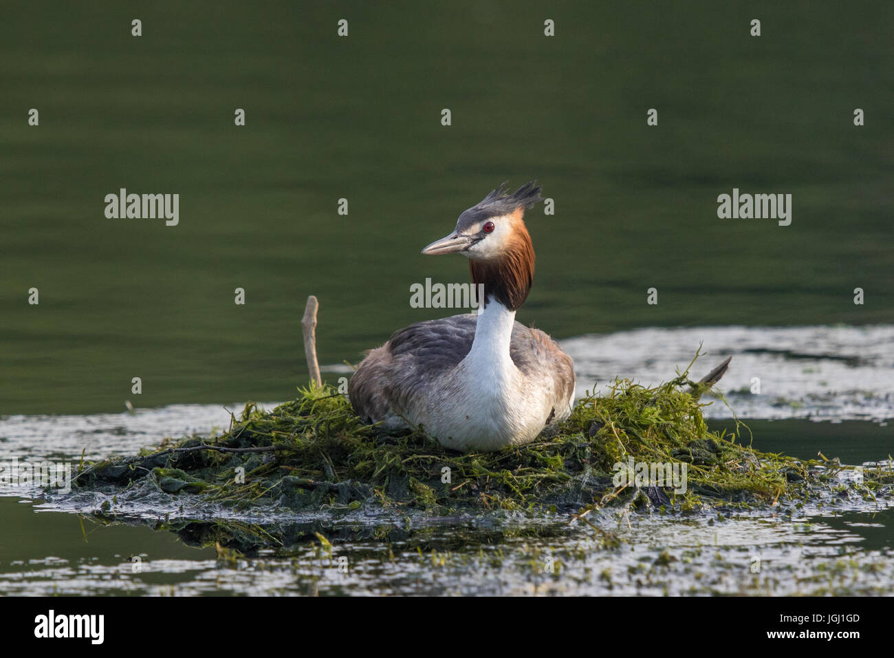 Great Crested Grebe (Podiceps cristatus) on its nest - Stock Image