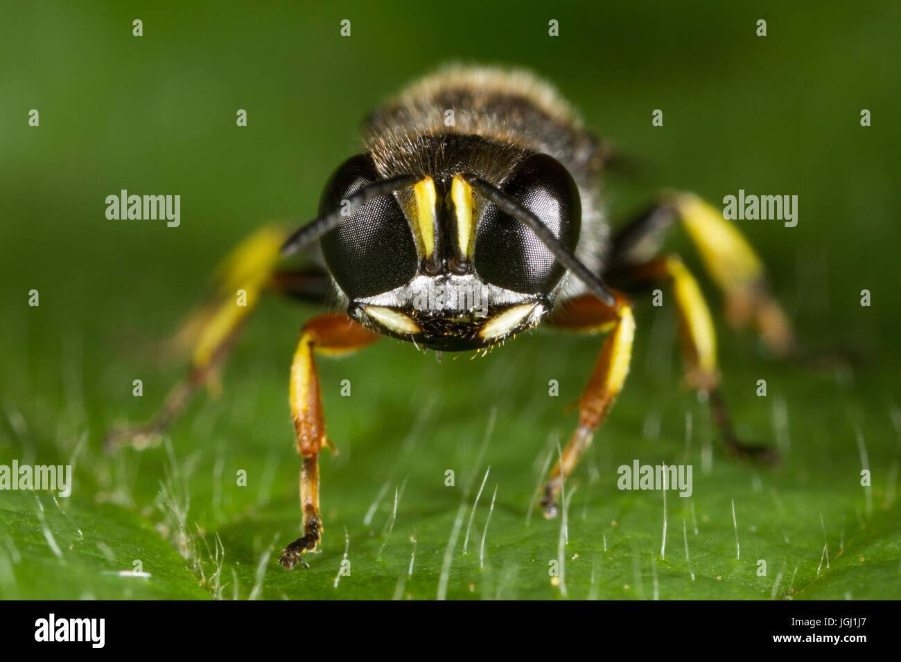 male Ectemnius continuus (a fly-hunting wasp) - Stock Image
