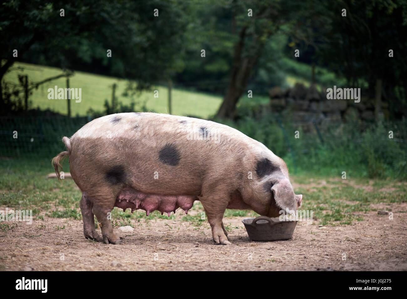 Piglet (Sus scrofa domestica) at an organic farm - Stock Image