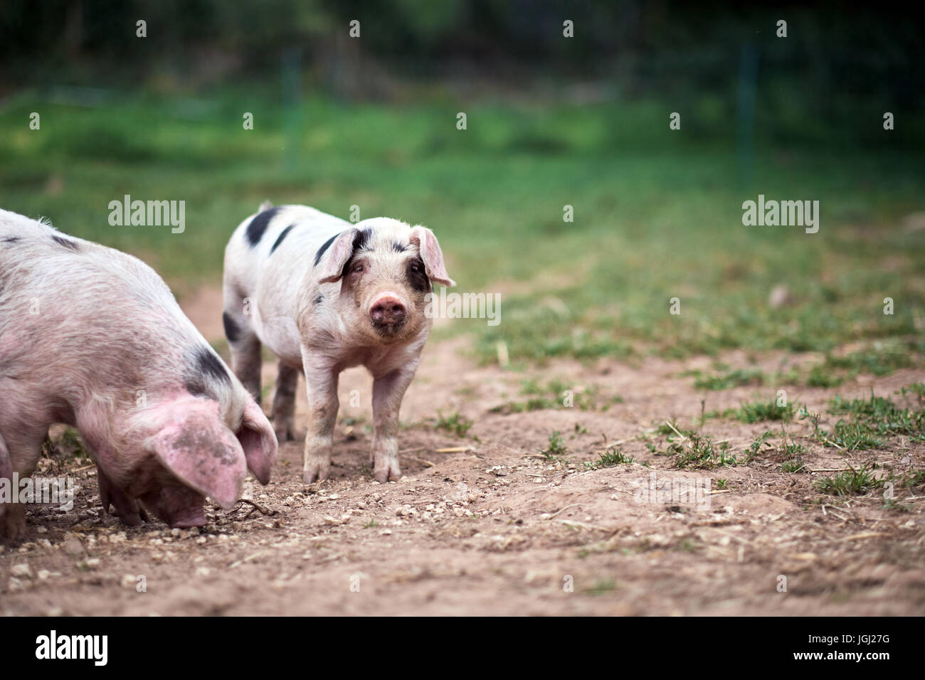 Piglet (Sus scrofa domestica) at an organic farm - Stock Image