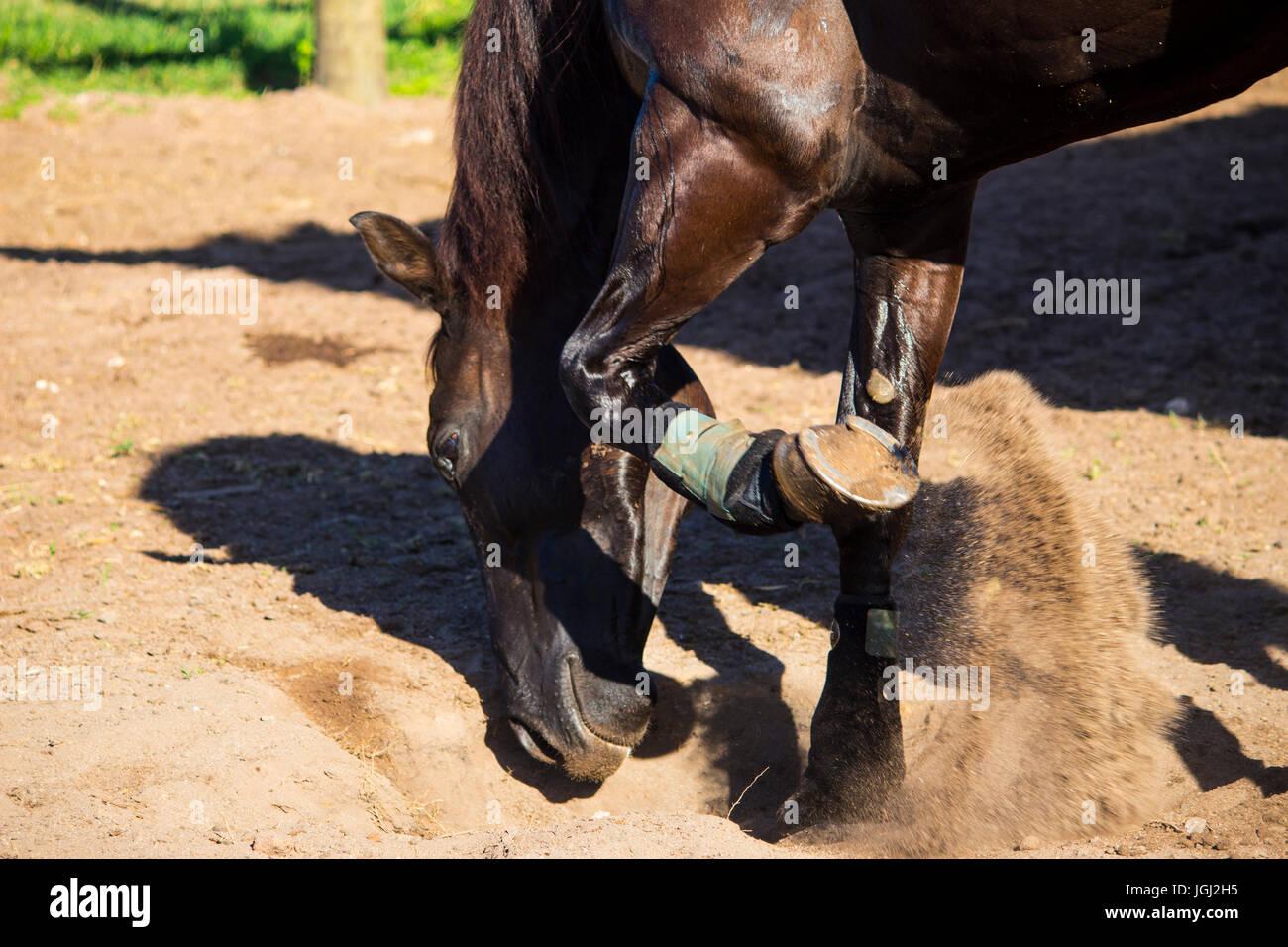 Dark Bay Horse Digging Stock Photo Alamy