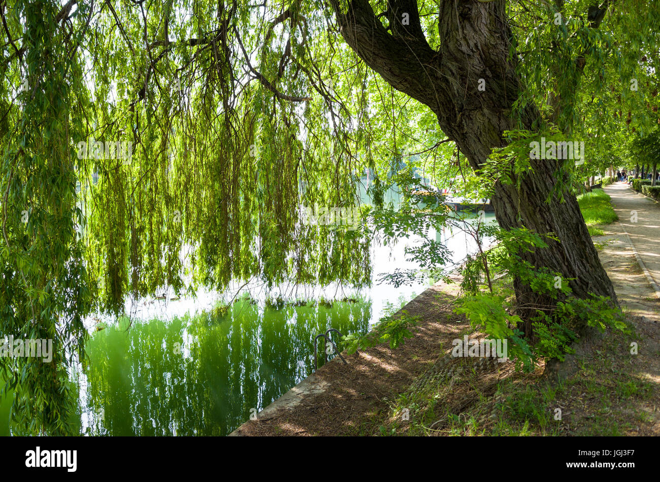 A weeping willow tree on the bank of the Marne river and its branches falling like a curtain till touching the water Stock Photo
