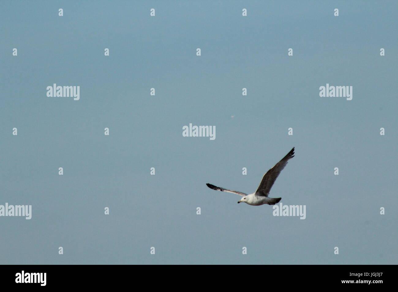 Seagull in flight in blue sky - Stock Image