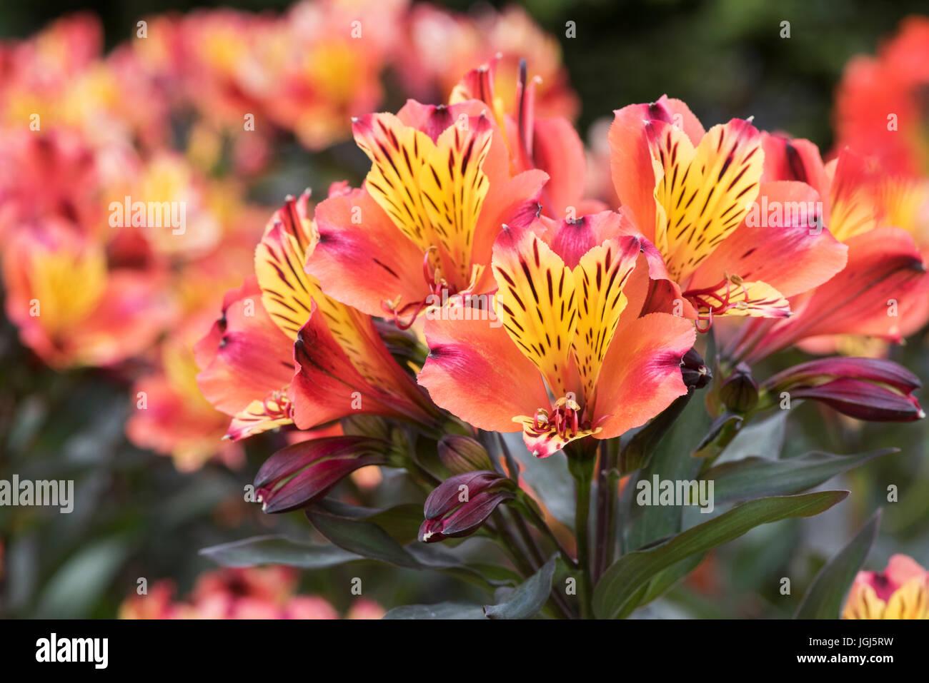 Alstroemeria indian summer peruvian lily flowers stock photo peruvian lily flowers izmirmasajfo
