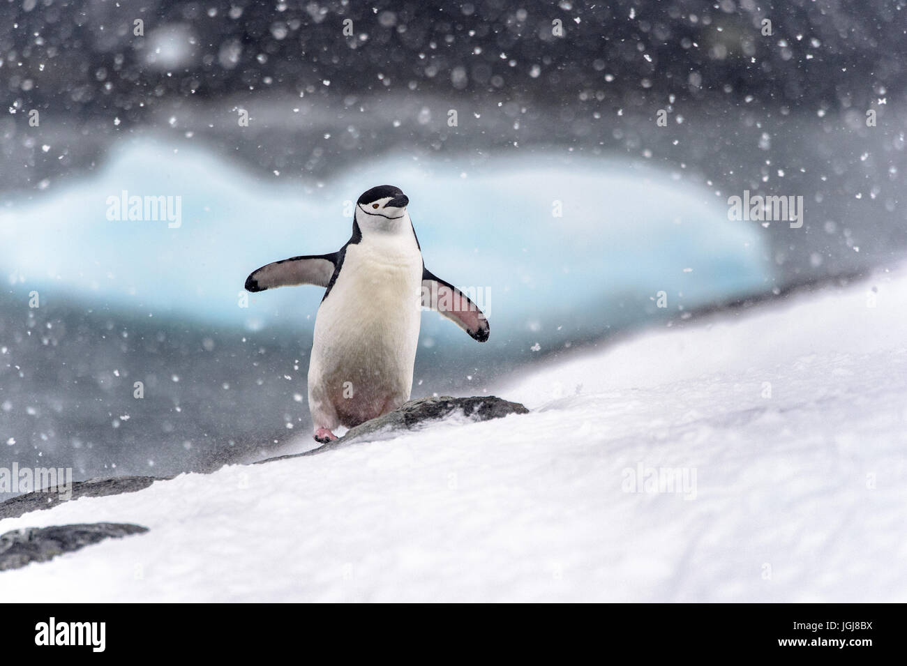 Chinstrap penguin walking up hill in a snow storm in Antarctica - Stock Image