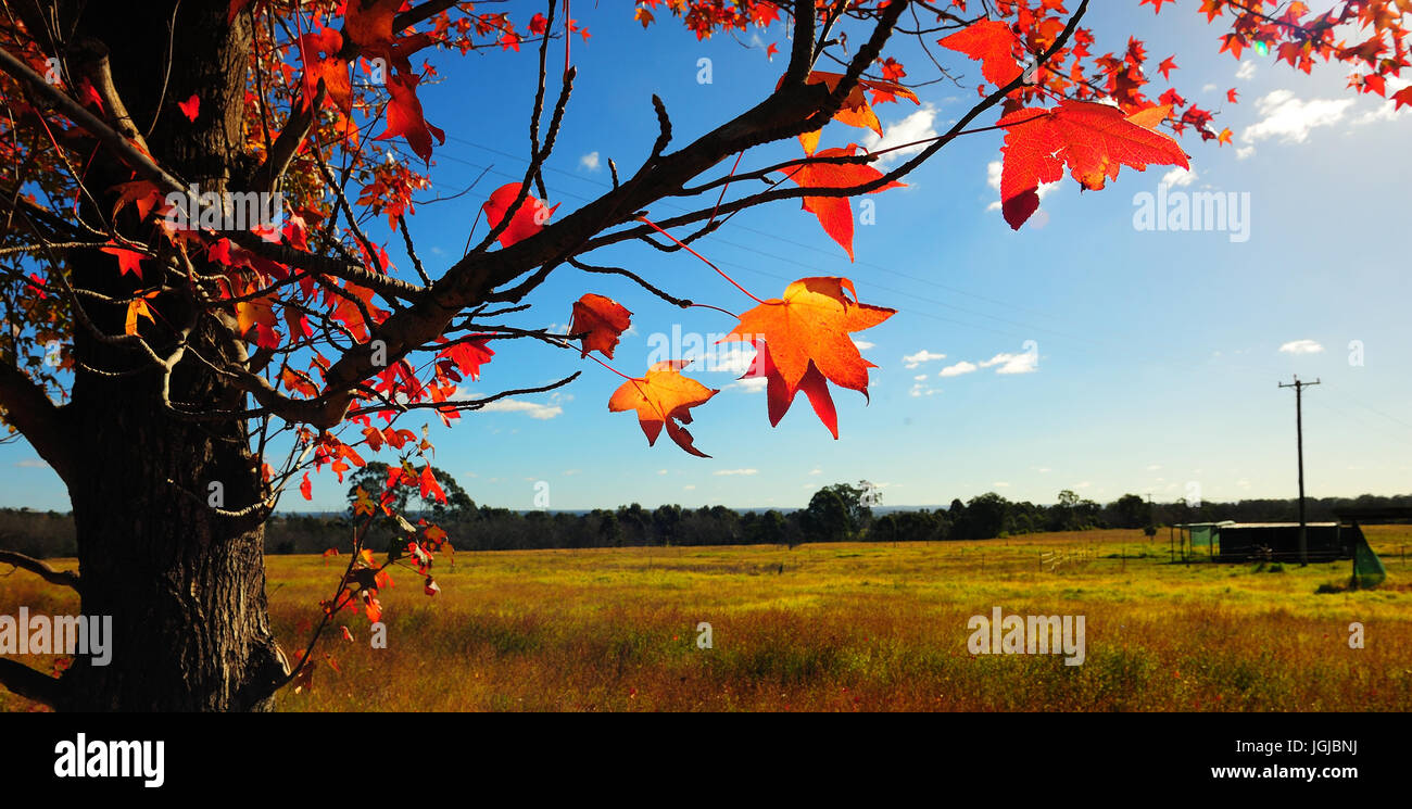 Red Canadian maple leaf tree (Acer rubrum cultivars) in foreground. Grass pasture in background. Camden. New South - Stock Image