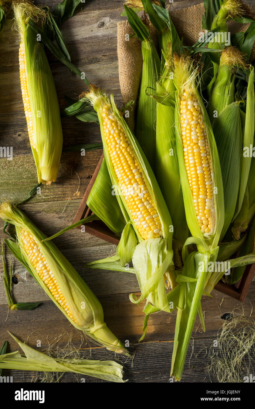 Raw Organic Yellow Corn on the Cob Ready to Eat - Stock Image