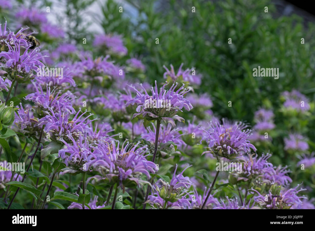 Bee balm growing in a backyard garden. The scientific name,  Monarda is a genus of flowering plants in the mint - Stock Image