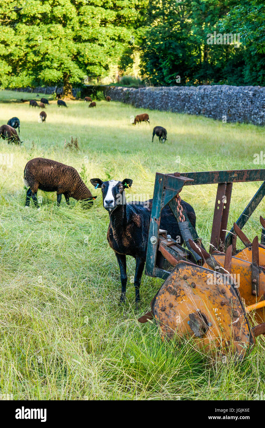 An inquisitive sheep next to a large farming implement, between Castleton and Hope, Peak District, Derbyshire, England, - Stock Image