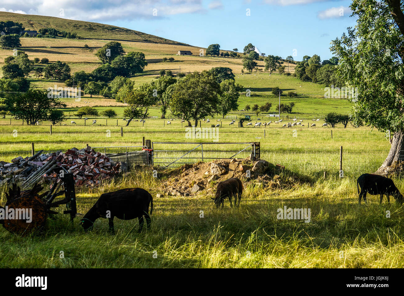 Sheep grazing in a field with a hillside backdrop, between Castleton and Hope in the Peak District, Derbyshire, Stock Photo