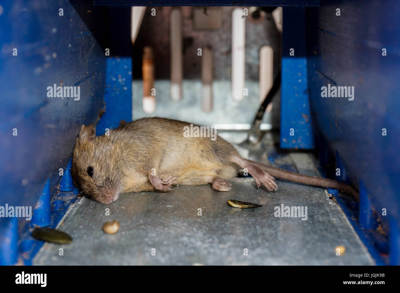 A dead mouse in a small, battery powered trap, killed by electric shock, with the grain bait on the floor. - Stock Image