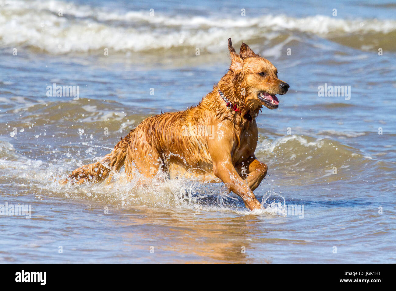 Southport, Merseyside. Doggies Day Out. 8th July 2017. UK Weather.  Gorgeous 2 year old working Golden Retriever Stock Photo